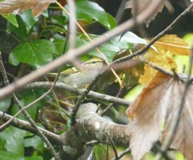 Pallas's Warbler Berry Head Devon UK 25 October 2016