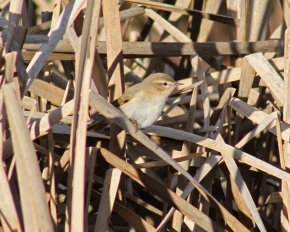 Siberian Chiffchaff Clennon Valley 18 Jan 2015 Mark Brook