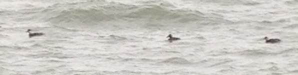 Surf Scoter fw Goodrington Torbay 14 Dec 2018 Ml