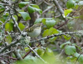 Yellow-browed Warbler Brixham 11 Oct 2016 ML