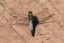 Black tailed skimmer, male