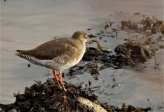 Red Shank on the River Taw near Ashford