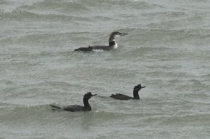 Great northern diver and shags.