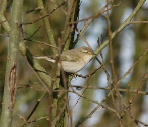 Siberian Chiffchaff Clennon Valley 02 Jan 2014 ML