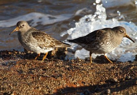 Purple Sandpipers 04 Feb Sidmouth Terry Honeywill