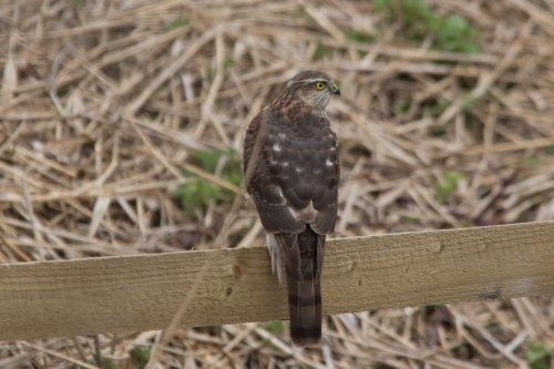 Sparrowhawk -West Charleton Marsh - 12.3.15