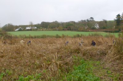 Reed cutting at South Milton Ley 11 Jan J Avon