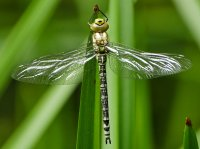 Teneral Southern Hawker Dragonfly, maiden flight a 5 minutes after this photo taken.
