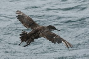 Balearic shearwater, in very heavy wing moult