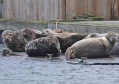 Some of the 16 Grey Seals in Brixham Harbour