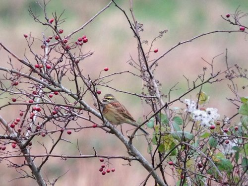 Cirl Bunting, J.Marshall (iphone pic)