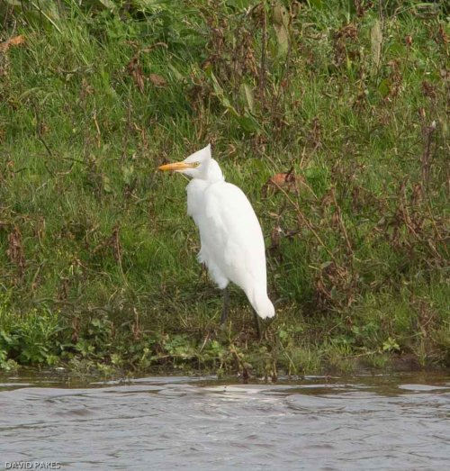 Cattle Egret at South Huish Marsh - 29.9.17