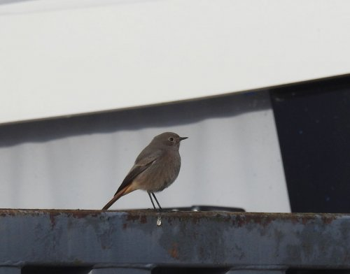 Black Redstart Axe Yacht Club