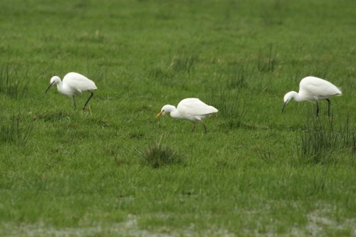 Cattle Egret with Little Egrets