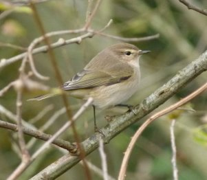 Sibe chiffchaff Clennon Vly 03 Dec 13 ML2