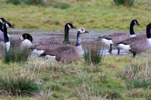 Canada Geese, Exminster