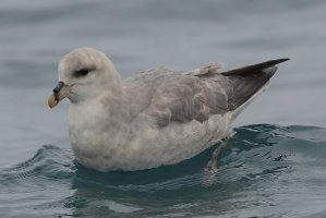 Fulmar (dark phase)