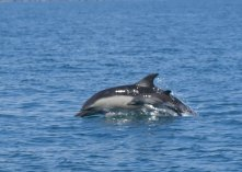 Common Dolphin mum and calf