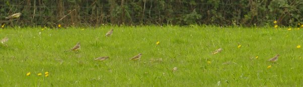 Yellow Wagtails Soar 27 Aug 2018 ML