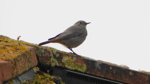 Black Redstart  (Marina)