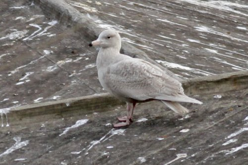 Glaucous Gull juv. possibly 1st winter