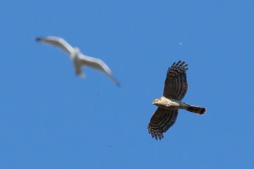 Sparrowhawk and Herring gull