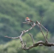 Distant Woodchat Shrike - Cuckoo Ball - 17/5/17