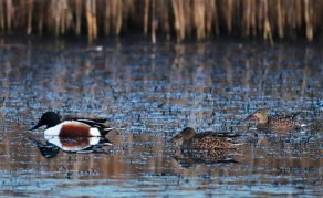Malr and female Shovelers