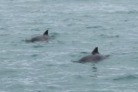 Porpoises, 2 of 5 off Berry Head.