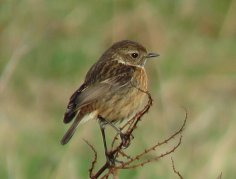 Stonechat (first winter?)