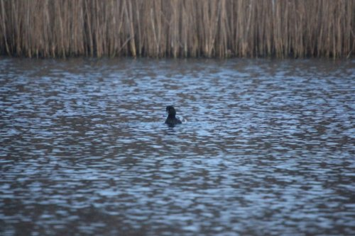 Scaup?