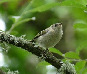 Goldcrest fledgling