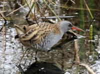 Water Rail Stover