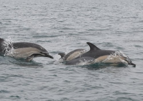 Common Dolphin, adults and calf