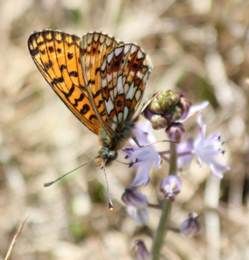Is this a Pearl Bordered Fritillary? If it is...tick