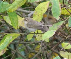 Tristis Chiffchaff Broadsands 18 Nov 13 ML
