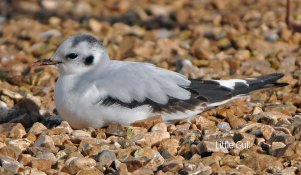 Little Gull Slapton Barry Rankine