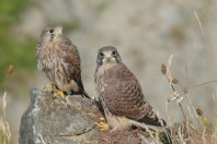 North Coast Kestrels