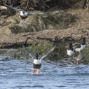 Male Shovelers taking off