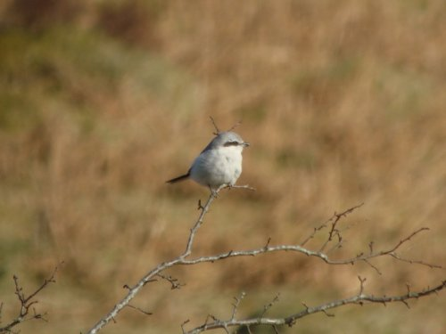 Great Grey Shrike, Soussons