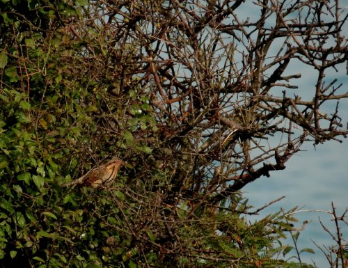 Wryneck Sharkham Point