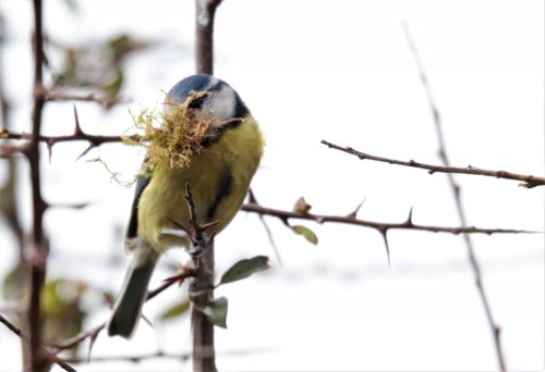 Blue tit with nest material