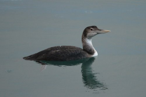 White billed diver