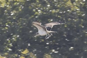 Osprey juv with fish