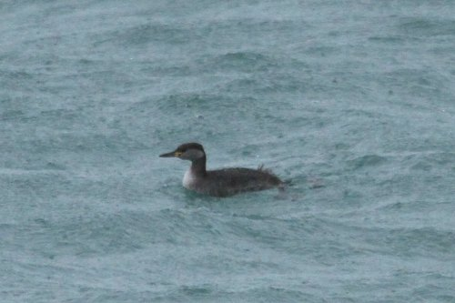 Red necked grebe - note black bill with yellow base