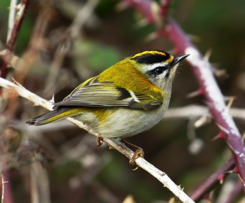 Firecrest Dawlish Warren
