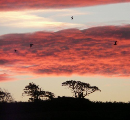 gulls heading inland to feed at dawn