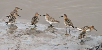 Dunlin © Roy Churchill
