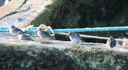 Purple Sandpiper N Smallbones