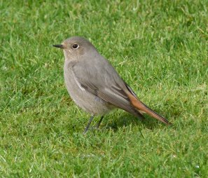 black Redstart Female Clennon Valley 17 Mar 13 ML2